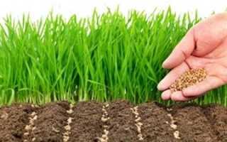 Газонная трава – посев в деталях