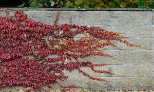 Использование девичьего винограда в ландшафтном дизайне
